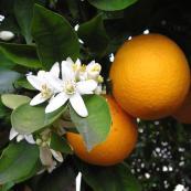 orange_blossom_and_orange